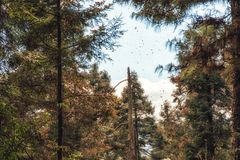 Die Monarchfalter, die am Monarchfalter-Schongebiet bezüglich fliegen Stockbild