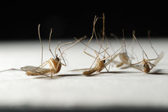 Die mosquitoes. On the white paper Stock Photography