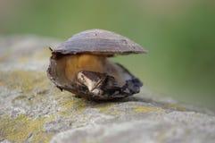 Die Muschel Lizenzfreie Stockbilder