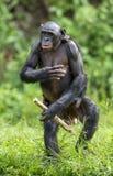 Die Mutter des Bonobo (Pan-paniscus) mit dem Jungen, das auf ihren Beinen und Weg steht CUB auf einer Rückseite an der Mutter Lizenzfreie Stockbilder