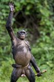 Die Mutter des Bonobo (Pan-paniscus) mit Jungem Stockfoto