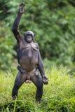 Die Mutter des Bonobo (Pan-paniscus) mit Jungem Stockfotografie