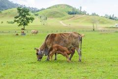 Die Mutterkuh und ihr junges Kalb Lizenzfreie Stockfotografie