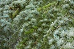 Die Nadeln auf dem Baum Stockfotografie