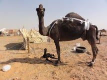 Die nahöstlichen Kamele in der Wüste stockfotografie