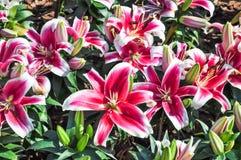 Lilien-Blume Stockbilder