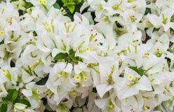 Weißbuch-Blume (Bouganvilla) Stockfoto