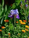 Die Nahaufnahme die schöne purpurrote Iris blüht im Frühjahr Lizenzfreie Stockbilder