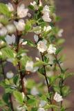 Die Nanking-Kirschblüte Stockfoto