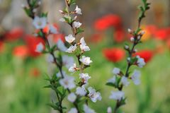 Die Nanking-Kirschblüte Lizenzfreie Stockfotografie