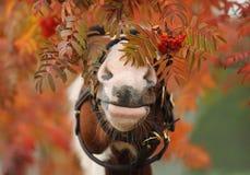 Die Nase des Pferds in einer Eberesche Lizenzfreie Stockbilder