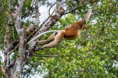 Die Nasenaffe springend auf einen Baum Lizenzfreie Stockfotos