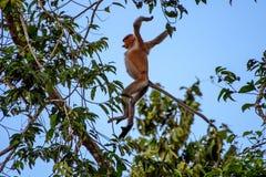 Die Nasenaffe springend von einem Baum zum folgenden Stockbild