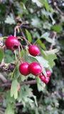 Die natürlichen roten Beeren, die von einem Efeu hängen, bedeckten Backsteinmauer Stockbild