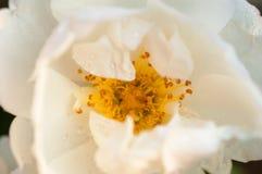Die Naturhintergrundweiß-Rosenblume, die durch Wasser bedeckt wird, lässt Nahaufnahme fallen Stockfoto