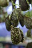 Die Nepenthes-oder Affe-Schalen Lizenzfreie Stockbilder