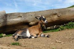 Die nette Ziege, die nahe einem Protokoll sitzt Stockbilder