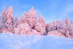 Die netten verdrehten Bäume, die mit starker Schneeschicht bedeckt werden, erleuchten rosafarbenen farbigen Sonnenuntergang am sc Lizenzfreie Stockbilder