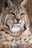 Die neugierige Katze Lizenzfreies Stockbild