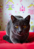 Die neugierige russische blaue Katze mit gelben Augen Stockfotos