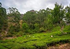 Die nicht identifizierten Leute, die in einer Teeplantage arbeiten, Munnar sind als Indien-` s Teekapital am bekanntesten lizenzfreie stockbilder