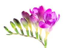 Die Niederlassung der purpurroten Freesie mit Blumen und den Knospen, an lokalisiert Stockbilder