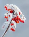 Die Niederlassung der schneebedeckten Eberesche Stockfotografie