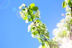 Die Niederlassung des blühenden Apfelbaums gegen den blauen Himmel Stockfotografie