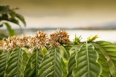 Die Niederlassung des Kaffeebaums mit Blumen lizenzfreie stockbilder