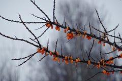 Die Niederlassung des Wegdorns in der Winterzeit lizenzfreie stockbilder