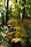 Die Niederlassung eines Kastanienbaums im Herbst Stockfotografie