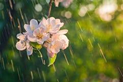 Die Niederlassung von den Apfelblüten belichtet durch die Sonne auf dem backg lizenzfreie stockbilder