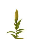 Die Niederlassung von Lilien auf einem weißen Hintergrund lokalisiert Stockfotografie