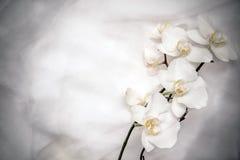 Die Niederlassung von weißen Orchideen Lizenzfreies Stockfoto