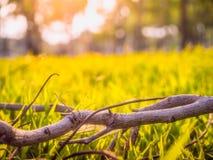Die Niederlassungen auf dem Gras und der Schönheit des Grases am Sonnenlicht am Abend Stockfoto