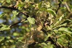 Die Niederlassungen der aplle Bäume im Krankheitsnetz Die Epidemie der Hermelinmole lizenzfreies stockbild