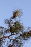 Die Niederlassungen der Kiefer, die Nester von Vögeln und der Himmel Stockfotos