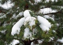 Die Niederlassungen der Kiefers werden Schnee-mit einer Kappe bedeckt Stockfoto