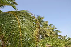 Die Niederlassungen der Palmen auf Hintergrund des blauen Himmels Stockfoto