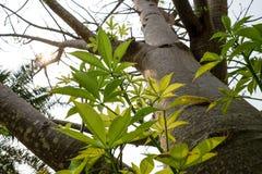 Die Niederlassungen des Baobabbaums stockbilder