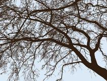 Die Niederlassungen des Laubbaumes im Winter Lizenzfreies Stockfoto