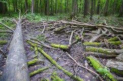 Die Niederlassungen eines Baums, der aus den Grund liegt Stockbild