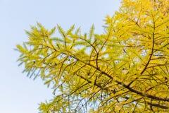 Die Niederlassungen eines Lärchenbaums im Herbst gegen einen blauen Himmel stockbilder
