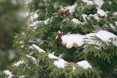 Die Niederlassungen von Arborvitae im Winter Lizenzfreies Stockfoto