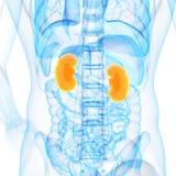 Die Nieren Stockbild