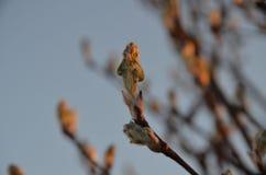Die Nieren eines Baums lizenzfreie stockfotos