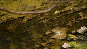 Die Oberfl?che von einem Gebirgsfluss Algen legten in Richtung des Flusses Der Fluss ist ruhig Unber?hrte Natur stock video footage