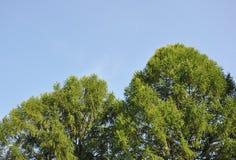 Die Oberteile Baumkronen Lizenzfreies Stockbild