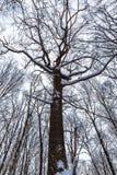 Die Oberteile der Bäume im Winterwald auf Himmelhintergrund Stockfotos