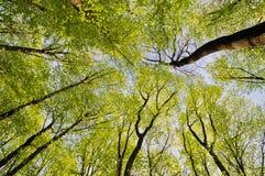 Die Oberteile des Waldes der Bäume im Frühjahr stockfotografie